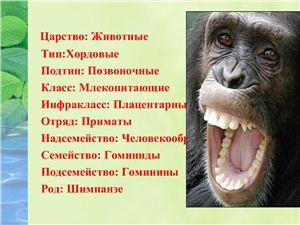 Презентация - Человекообразные обезьяны. Шимпанзе