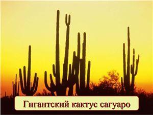 Гигантский кактус сагуаро