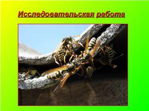 Гнездование Polistes dominulus на территории Юбилейного сельского поселения