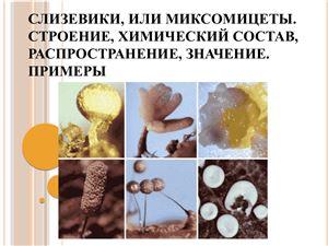 Слизевики, или миксомицеты. Строение, химический состав, распространение, значение. Примеры